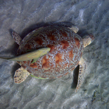 Hawksbill turtle with Remora fish
