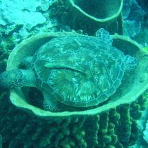 Hawksbill resting in sponge
