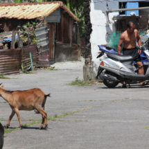 Residental street with goats of unknown owners