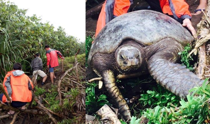 Rescue of a sea turtle on Lanyu